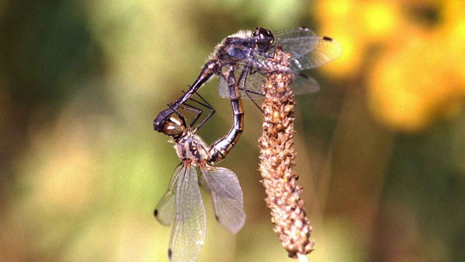Libellenartenverluste und -gewinne in Deutschland